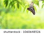 Stock photo amazing moment about butterfly change form chrysalis 1060648526
