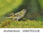 eurasian siskin sitting in the... | Shutterstock . vector #1060701218