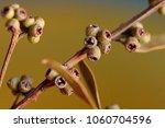 a branch of an eucalyptus with... | Shutterstock . vector #1060704596