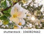 beautiful apple tree flowers...   Shutterstock . vector #1060824662
