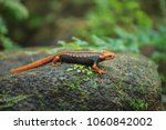 A Crocodile Salamander Is On...