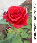 single red rose flower and raw... | Shutterstock . vector #1060908512