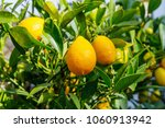 limequats    botanically known... | Shutterstock . vector #1060913942