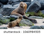 sea lion pups nuzzling on the... | Shutterstock . vector #1060984505