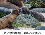 sea lion pups nuzzling on the...   Shutterstock . vector #1060984508