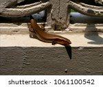 a garden skink on wall closeup  ... | Shutterstock . vector #1061100542