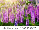 lupinus field with pink purple... | Shutterstock . vector #1061119502