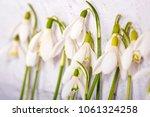 spring snowdrop flowers on...   Shutterstock . vector #1061324258