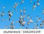 black headed gull  larus... | Shutterstock . vector #1061341145