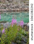Small photo of Flowering Chamerion on the background of blue water, Norway