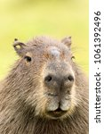 capybara  hydrochaeris...   Shutterstock . vector #1061392496