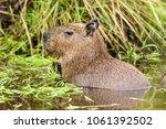 capybara  hydrochaeris...   Shutterstock . vector #1061392502
