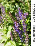 Small photo of Salvia nemorosa or woodland sage or balkan clary violet plant with green