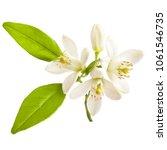 flowering citrus. spring. white ... | Shutterstock . vector #1061546735