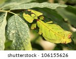 Tropical Leaf Insect In Malaysia