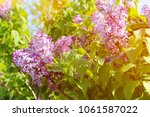 beautiful lilac flowers with...   Shutterstock . vector #1061587022