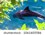 the yong bottlenose dolphin is... | Shutterstock . vector #1061605586
