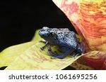 blue and black poison dart frog ...   Shutterstock . vector #1061695256