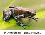poison arrow frog  dendrobates...   Shutterstock . vector #1061695262