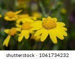 first spring flowers yellow in... | Shutterstock . vector #1061734232