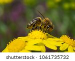 bee on yellow flower collecting ... | Shutterstock . vector #1061735732