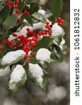 Small photo of American Holly (Ilex opaca) with red berries.