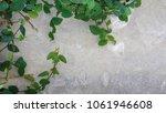 green creeper plant on concrete ...   Shutterstock . vector #1061946608