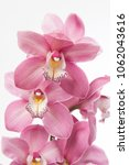 Small photo of Cymbidium large flowering Aida close up