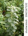 Small photo of Aerva lanata plant in nature garden