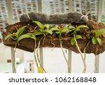 dendrobium anosmum young trees | Shutterstock . vector #1062168848