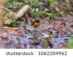 daurian redstart birds of... | Shutterstock . vector #1062204962