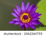 purple lotus flower with bee   Shutterstock . vector #1062264755