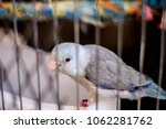 little bird in the cage | Shutterstock . vector #1062281762