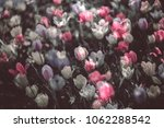 colorful tulip fields in the... | Shutterstock . vector #1062288542