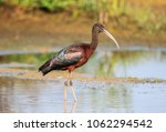 """The glossy ibis is a wading bird in the ibis family Threskiornithidae. The scientific name derives from Ancient Greek plegados and Latin, falcis, both meaning """"sickle"""" referring to the bill."""