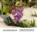 Flowers Of Spring Crocus ...