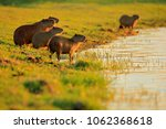 capybara  family with youngs ... | Shutterstock . vector #1062368618