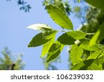 Fresh Leaves Of Laurel Tree In...