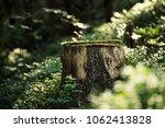 north scandinavian pine forest  ...   Shutterstock . vector #1062413828