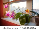 beautiful rare orchid in a pot... | Shutterstock . vector #1062439316