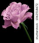 light pink  rose.  flower on... | Shutterstock . vector #1062518672