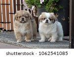 tibetan spaniel puppies | Shutterstock . vector #1062541085