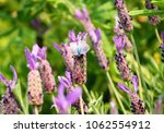 lavender in summer and little... | Shutterstock . vector #1062554912