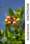 indian cherry or carunda ... | Shutterstock . vector #1062556268