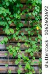 green creeper plant on wood... | Shutterstock . vector #1062600692