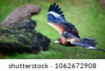 wedge tailed eagle in flight. a ... | Shutterstock . vector #1062672908