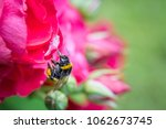 Close Up Of A Bumblebee In Mid...