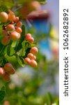 indian cherry or carunda ... | Shutterstock . vector #1062682892