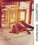 Small photo of The dog black color sleep on the fall under the table.It 's dangerous don't touch them.