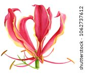 fire lily  watercolor... | Shutterstock . vector #1062737612